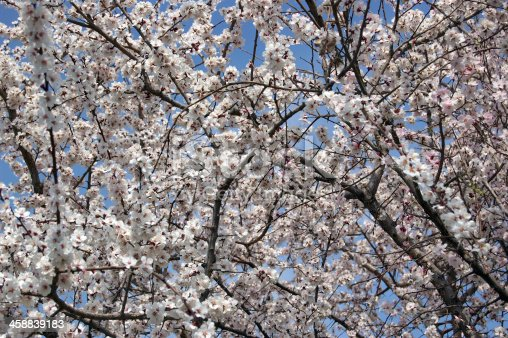 Apple Tree blossom.
