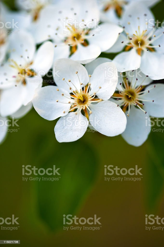 Apple tree blossom, white flowers on a green leaves background stock photo