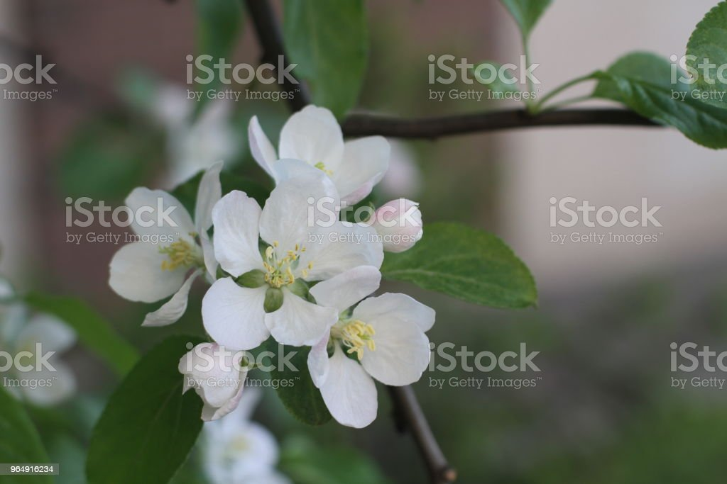 Apple tree blossom with green leaves. Beautiful spring flowers in the garden. royalty-free stock photo