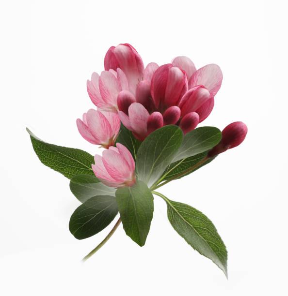 apple tree blossoms cut out on white background - pręcik część kwiatu zdjęcia i obrazy z banku zdjęć