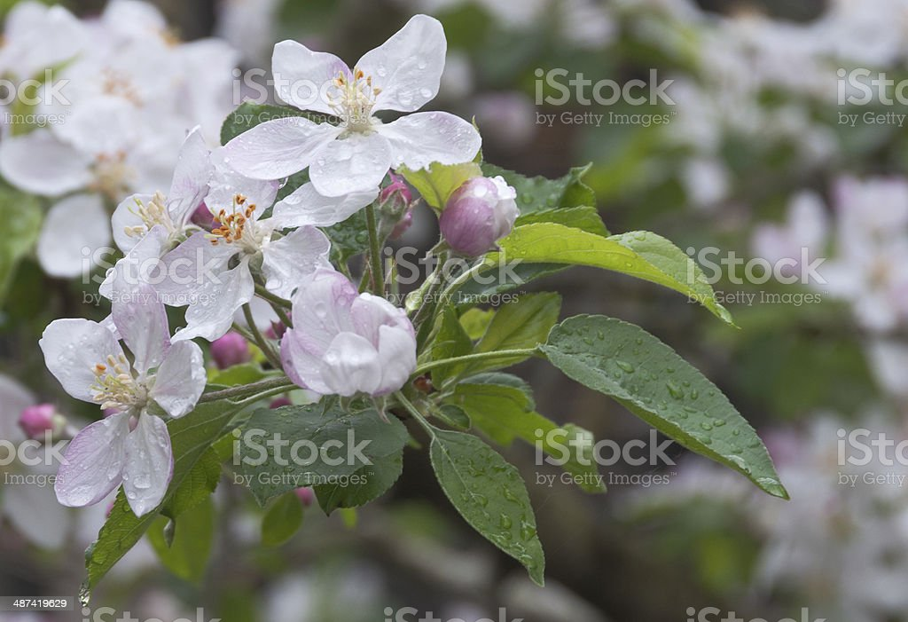 Apple tree blossoms stock photo