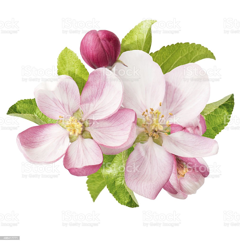 apple tree blossoms. spring flowers stock photo
