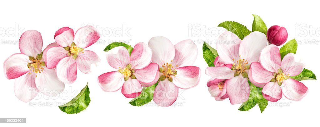 Apple tree blossoms with green leaves. Spring flowers set stock photo