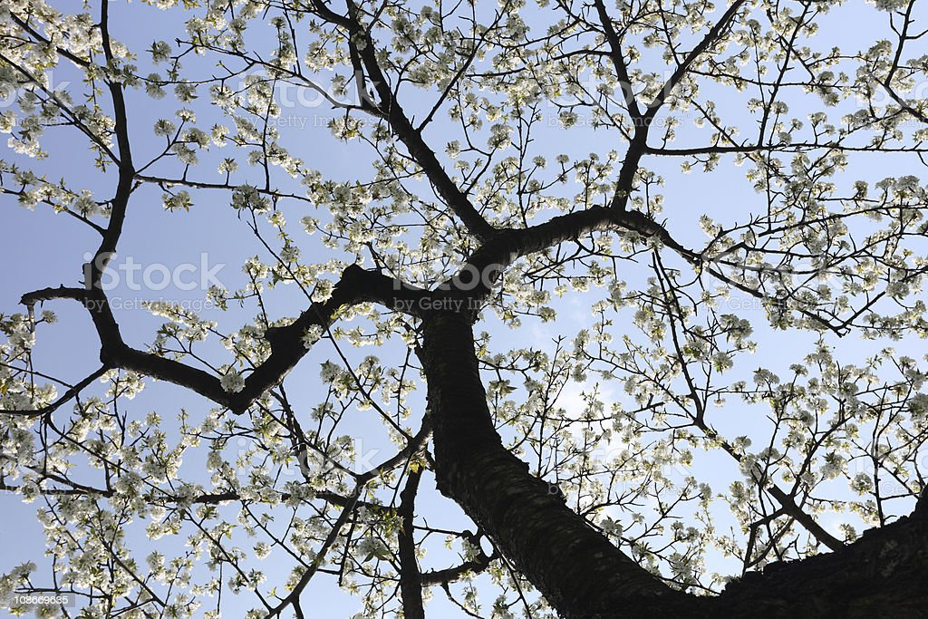Apple Tree Bottom View Spring royalty-free stock photo