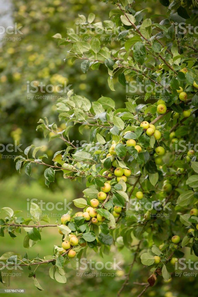 Apple tree branch full of fruit. stock photo