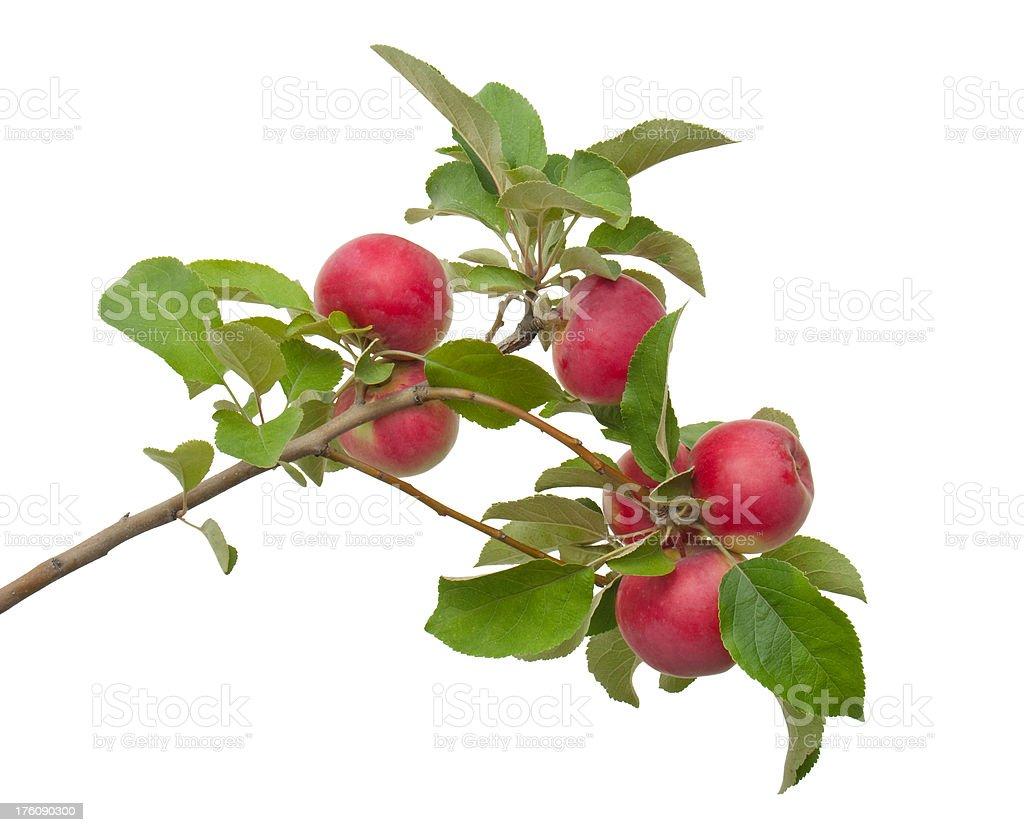 apple tree branch – Foto