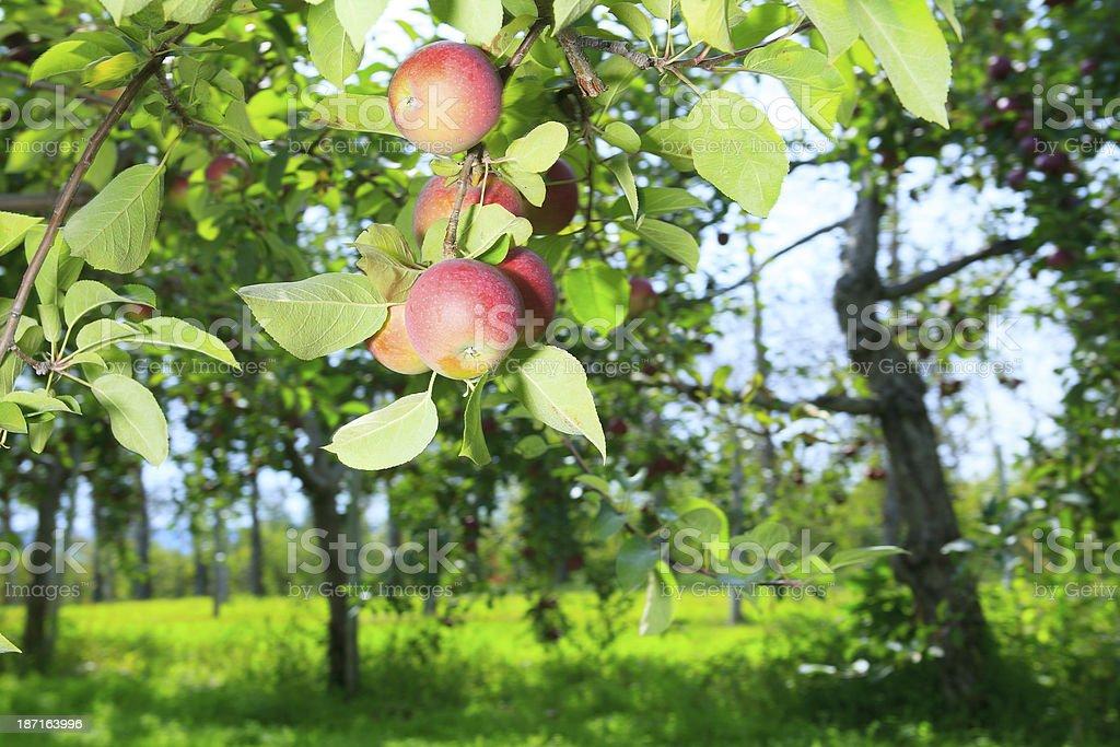 Apple Tree - Branch royalty-free stock photo