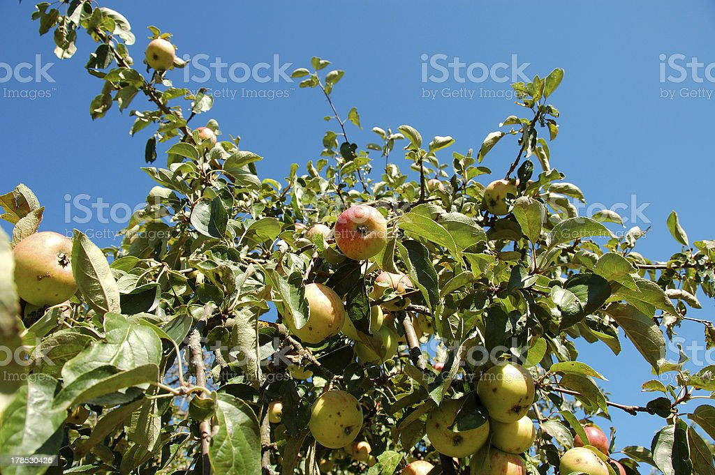 apple tree branch with blue sky background royalty-free stock photo