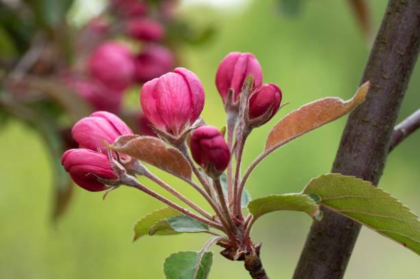 Apfelbaum-Zweig mit Knospen in Sprin-Zeit. Frühling Obstgarten. – Foto