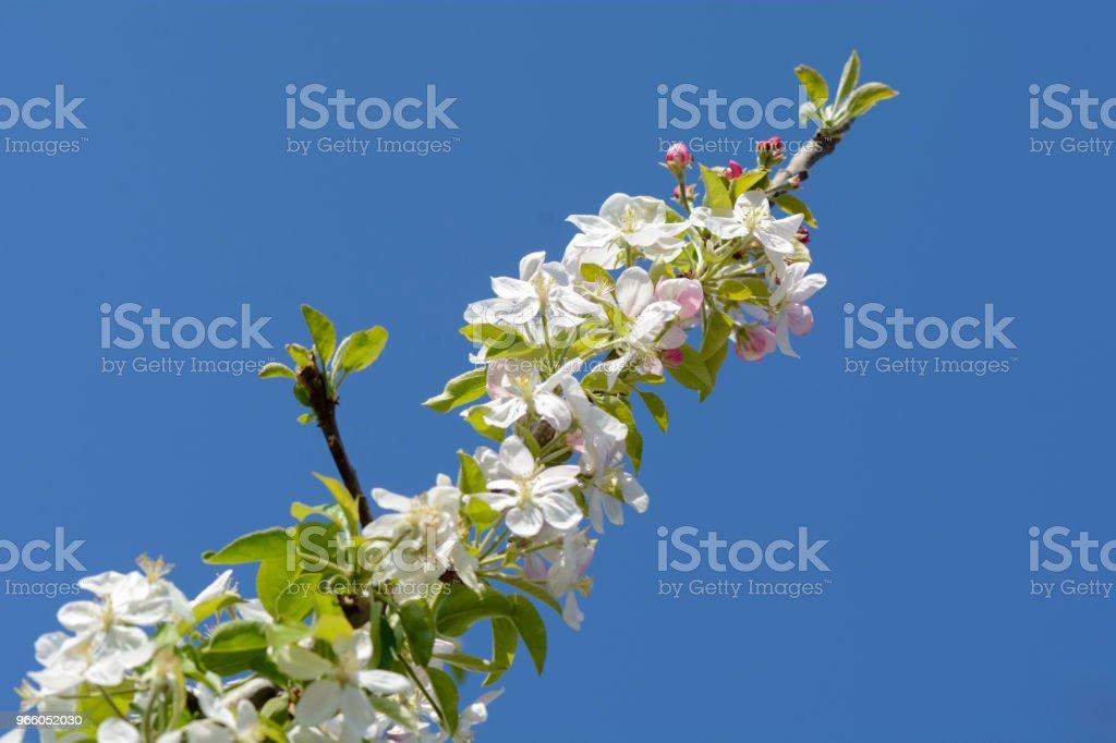 Apple boomtak met bloemen tegen de diepblauwe lucht. - Royalty-free Appel Stockfoto