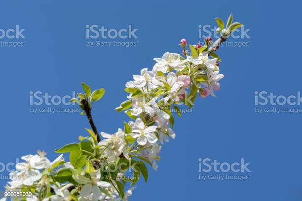 Apple Trädgren Med Blommor Mot Djupa Blå Himmel-foton och fler bilder på Beskrivande färg