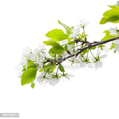 Apple tree branch with white flowers isolated on white background, square photo with selective focus