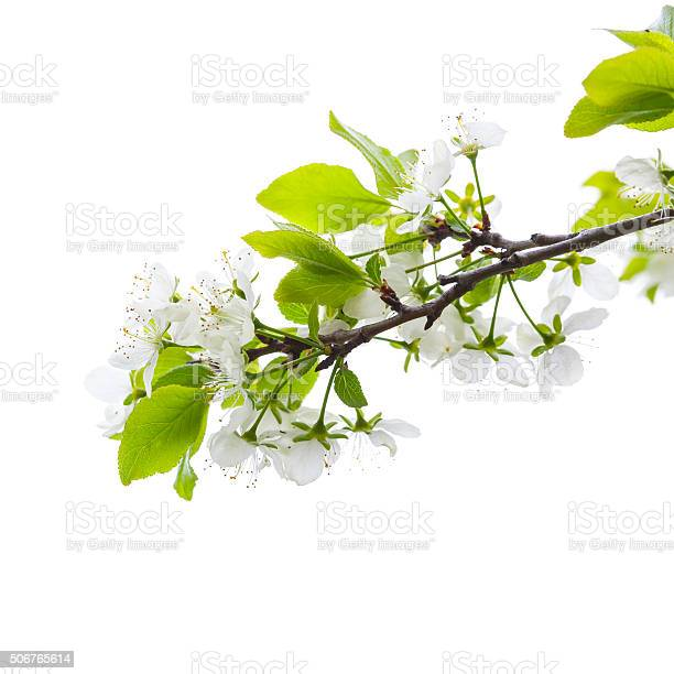 Apple tree branch with flowers isolated on white picture id506765614?b=1&k=6&m=506765614&s=612x612&h=mui6rhpmyullfe7 bjnvmslozul7ehhpwewrwdreen0=