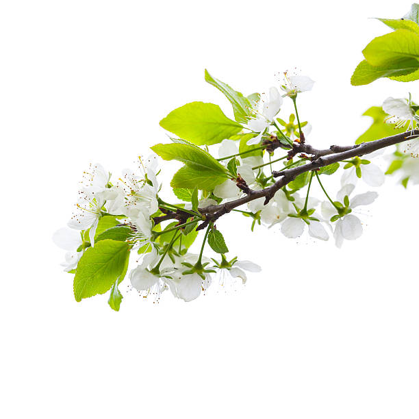 Apple tree branch with flowers isolated on white picture id506765614?b=1&k=6&m=506765614&s=612x612&w=0&h= kubeqjvowb uyjdxo101 d2nwardtzkkrxvwfhlqz4=