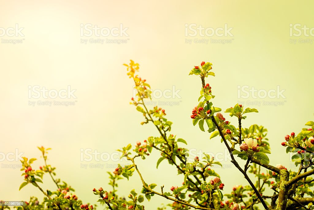 Apple tree branch with flowers stock photo