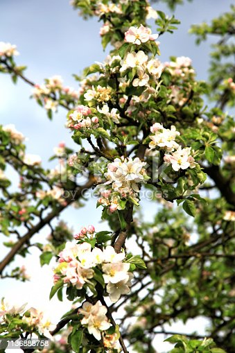 Apple tree branch with fresh blossoms in spring