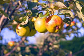Apple tree branch with ripe yellow with red apples at sunny summer day in the fruit garden