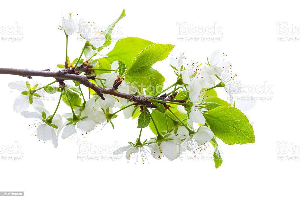 Apple tree branch with white flowers isolated stock photo