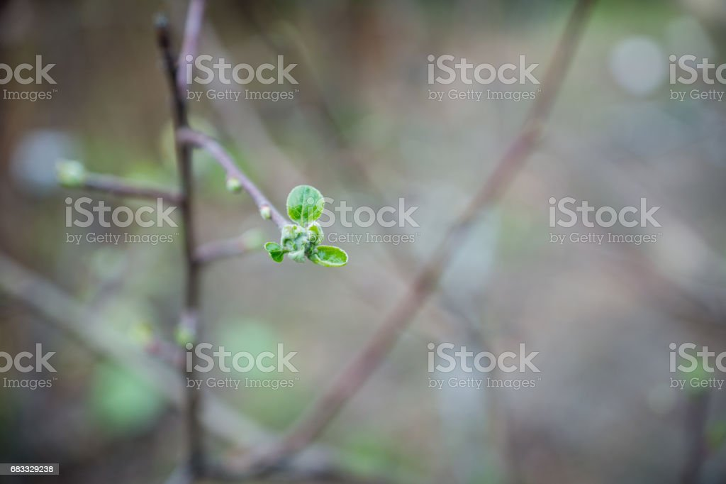 Apple tree branches with new leaves foto stock royalty-free