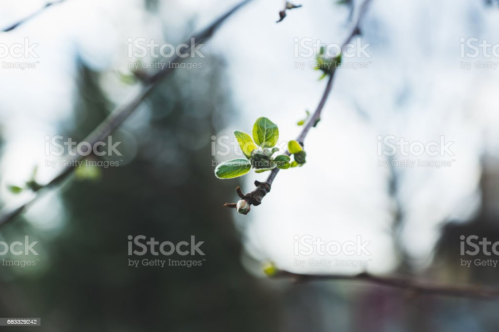Apple tree branches with new leaves royalty free stockfoto
