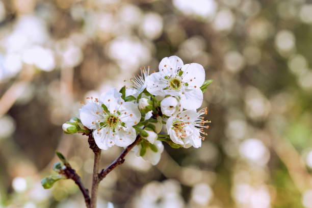 Apple tree buds and flowers. Blooming of a Patagonian apple tree in spring. stock photo