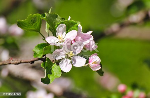 Apple tree flowers blossom. Buds and flowers on a branch in the spring.