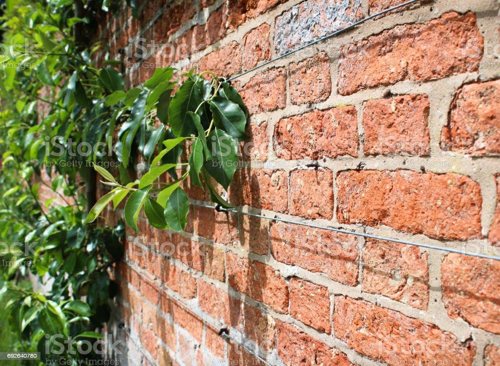 Apfelbaum Klettern Aus Rote Backstein Ummauerte Garten Stockfoto Und