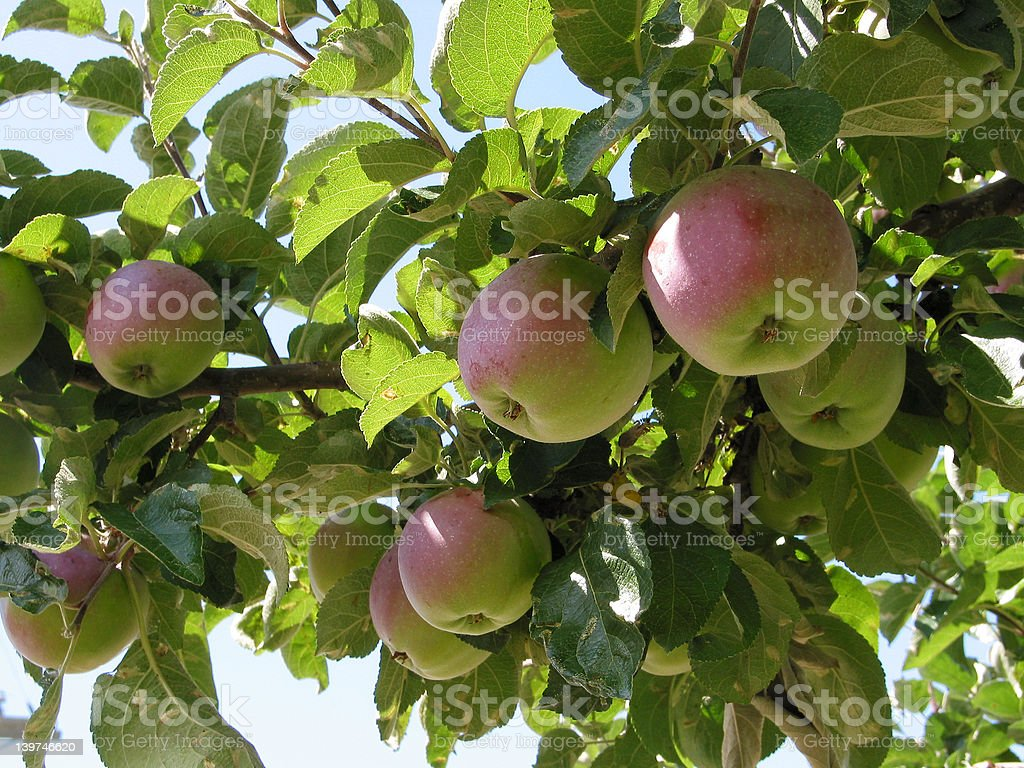 Apple Tree Close-up royalty-free stock photo