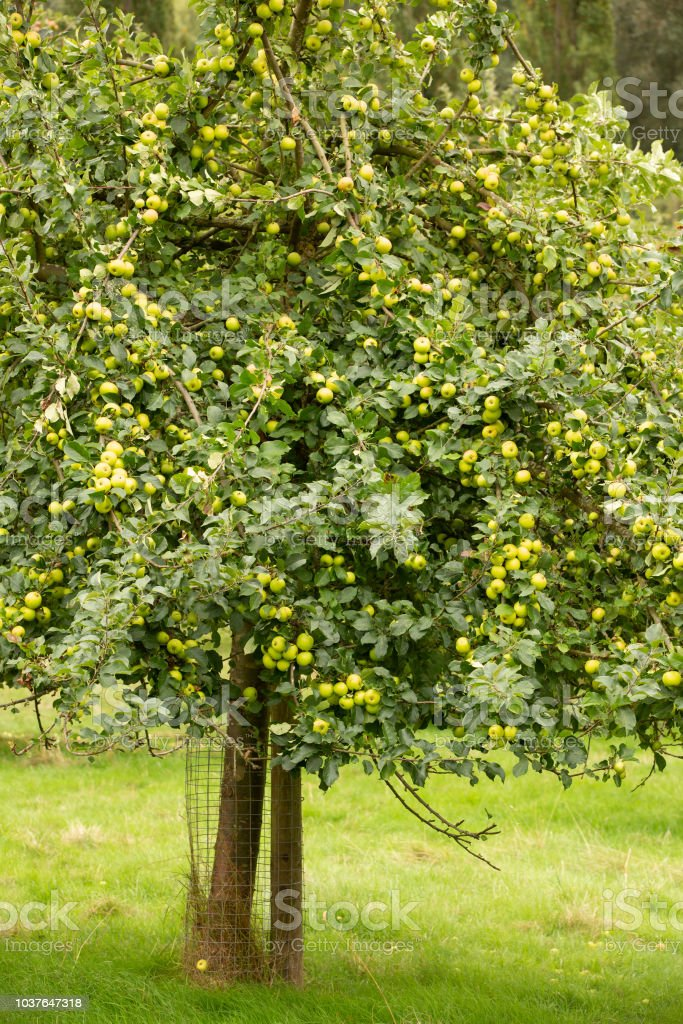 Apple tree covered with fully ripe fruit. stock photo