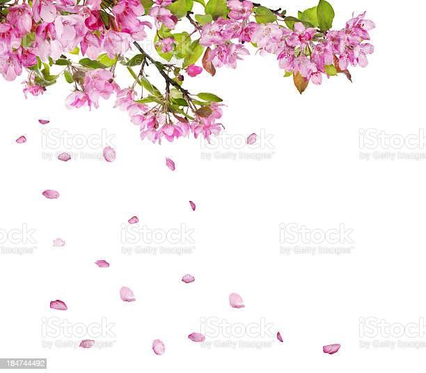 Apple tree flower branches and falling petals picture id184744492?b=1&k=6&m=184744492&s=612x612&h=tunag5 fnsmmhjh9qty5gzfbh7b7ay0yiubyjtz 0yc=