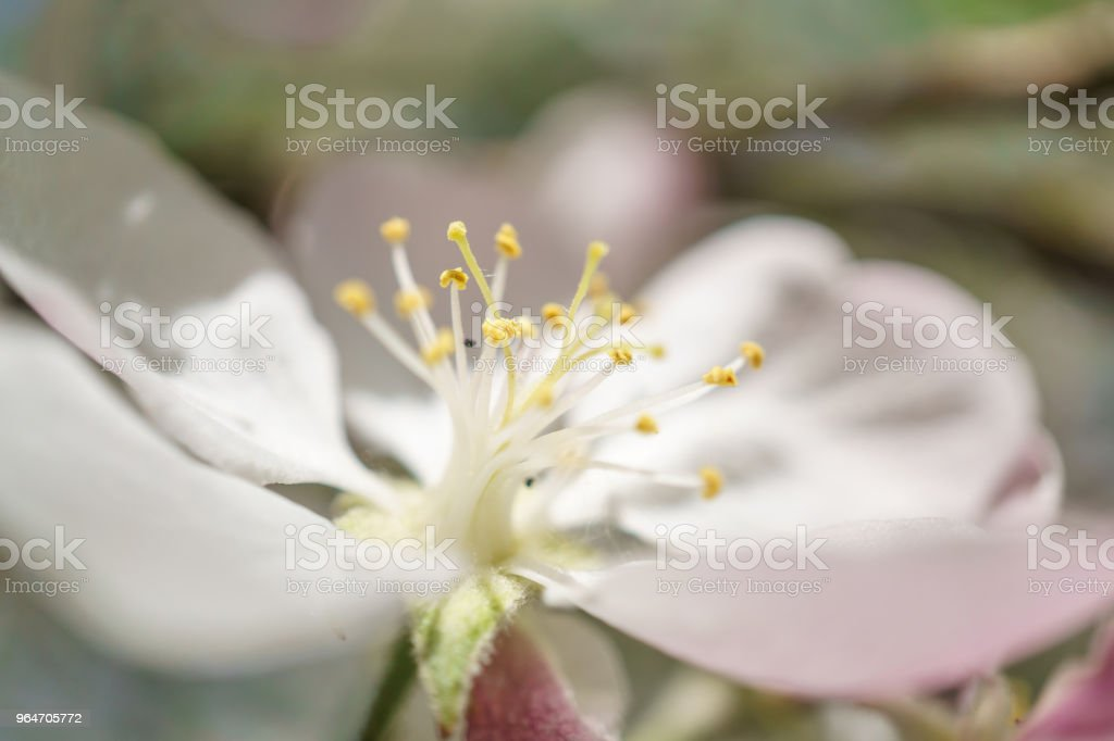 apple tree flowers blossoming in the sunny garden royalty-free stock photo