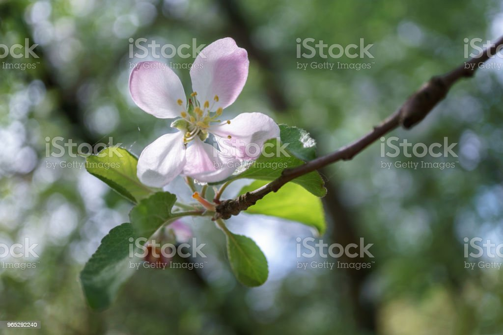 apple tree flowers blossoming in the sunny garden zbiór zdjęć royalty-free