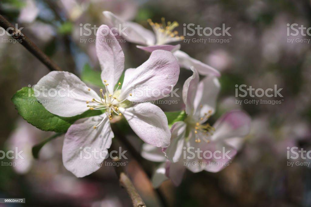 Apfel Baum Blumen blühen im sonnigen Garten - Lizenzfrei Apfel Stock-Foto