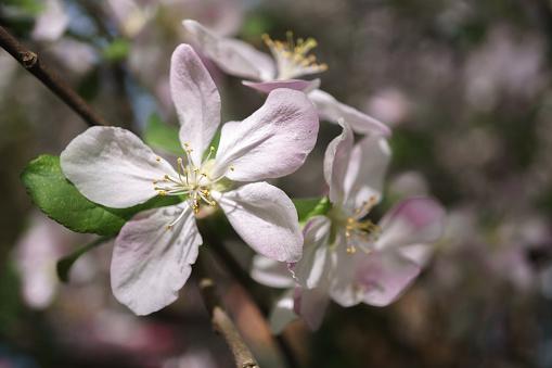 Apple Boom Bloemen Bloeien In De Zonnige Tuin Stockfoto en meer beelden van Achtergrond - Thema