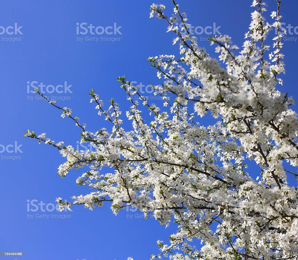 apple tree flowers royalty-free stock photo