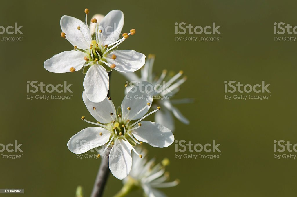 Apple tree flowers. royalty-free stock photo