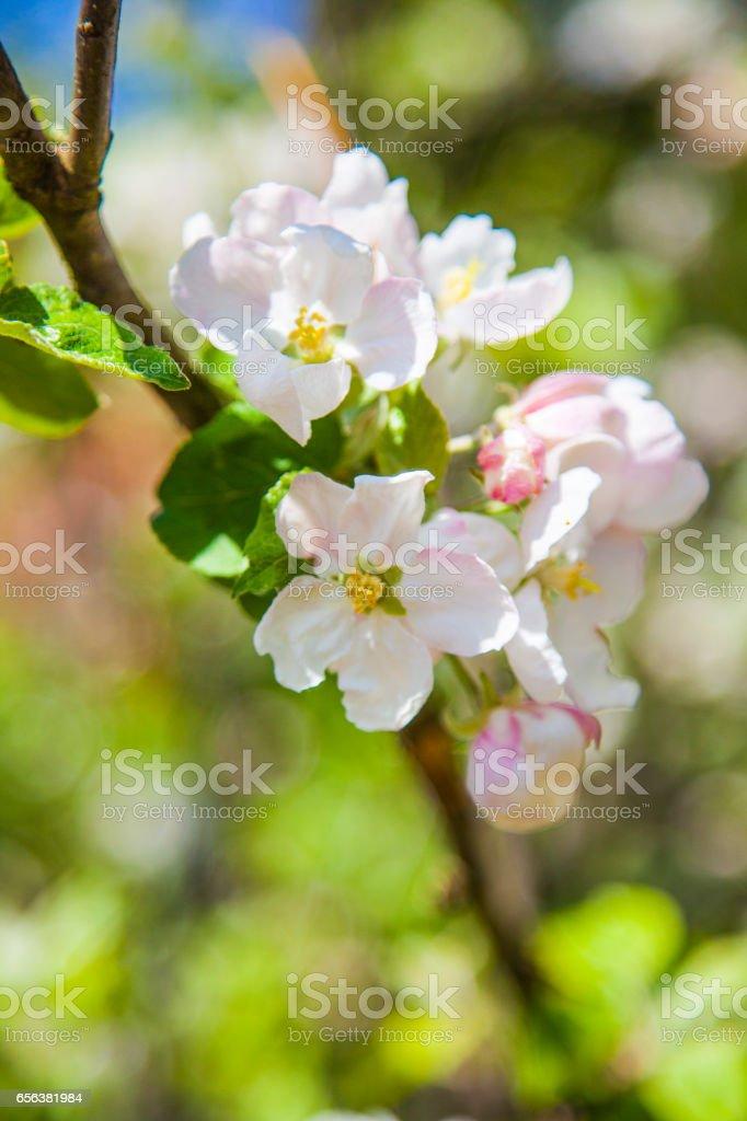 사과나무 나무 꽃 스톡 사진