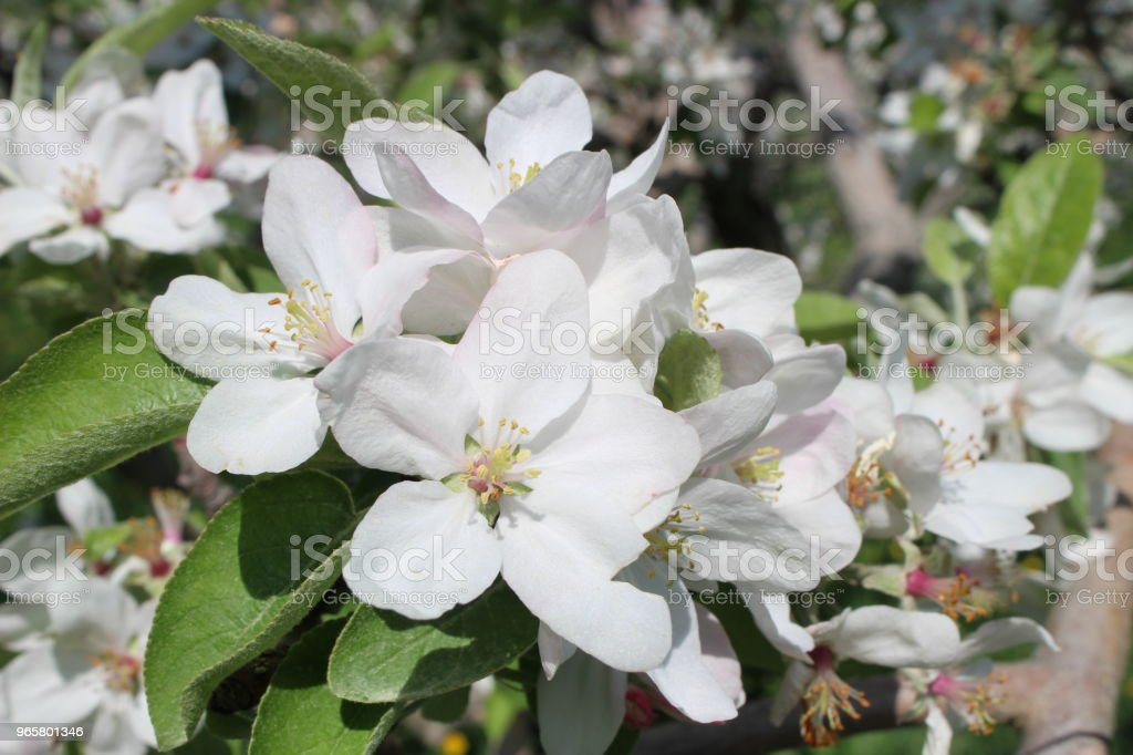Apple boom bloemen - Royalty-free Appel Stockfoto