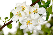 Apple tree flowers with raindrops on a spring day