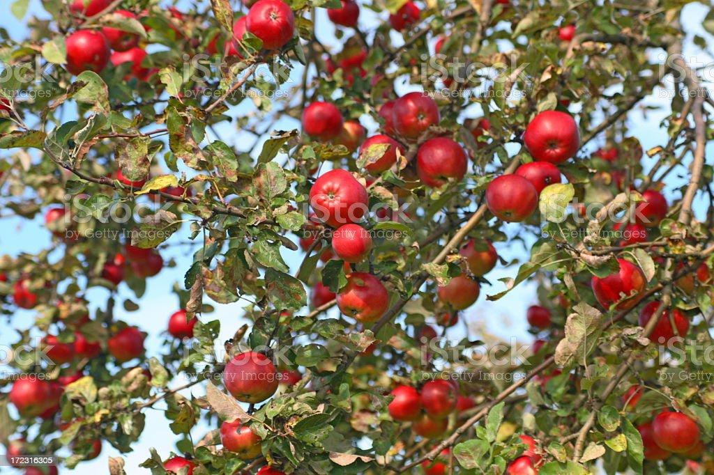 Apple Tree Full of Apples royalty-free stock photo