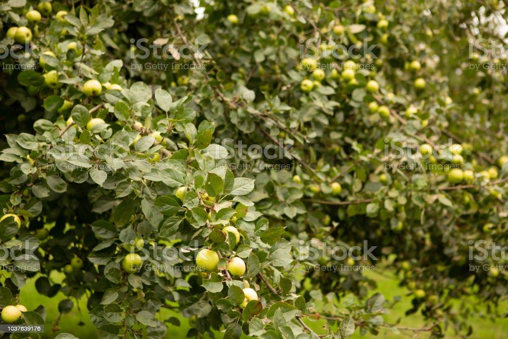 Apple tree full of fruit. stock photo