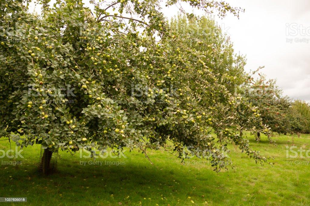 Apple tree full of green fruit. stock photo