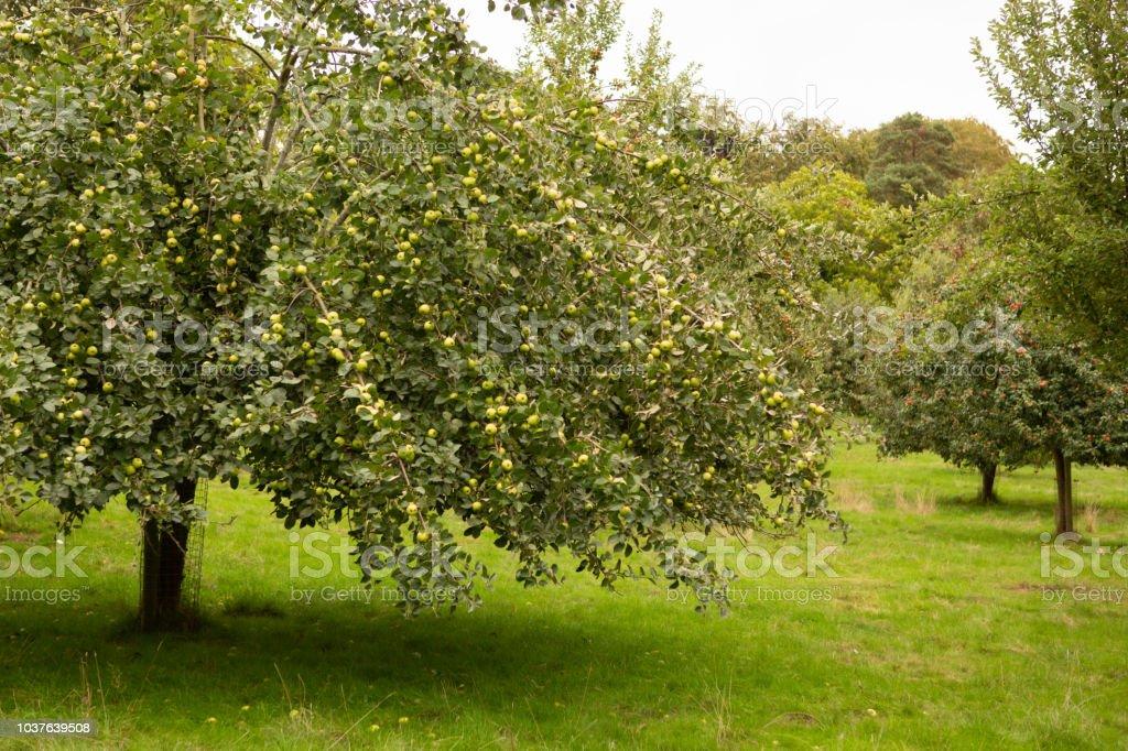 Apple tree full of ripe fruit. stock photo