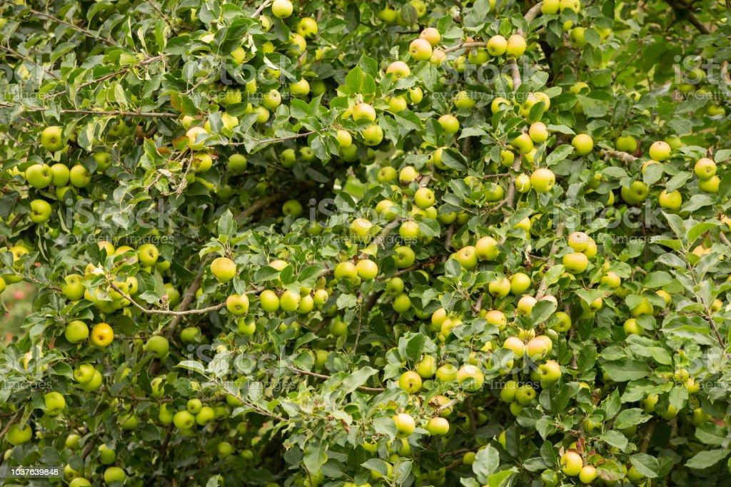 Apple tree full of ripe green apples. stock photo
