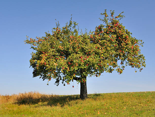 Apple tree fully laden with ripe apples Apple tree fully laden with ripe red apples on a sunny cloudless day. apple orchard stock pictures, royalty-free photos & images