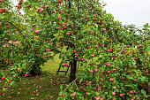 Apple tree garden in early morning,  basket with apples and ladder  near fruit tree, agriculture concept