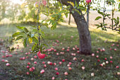 Apple tree garden in sunset, apples on the grass, old apple tree, agriculture concept