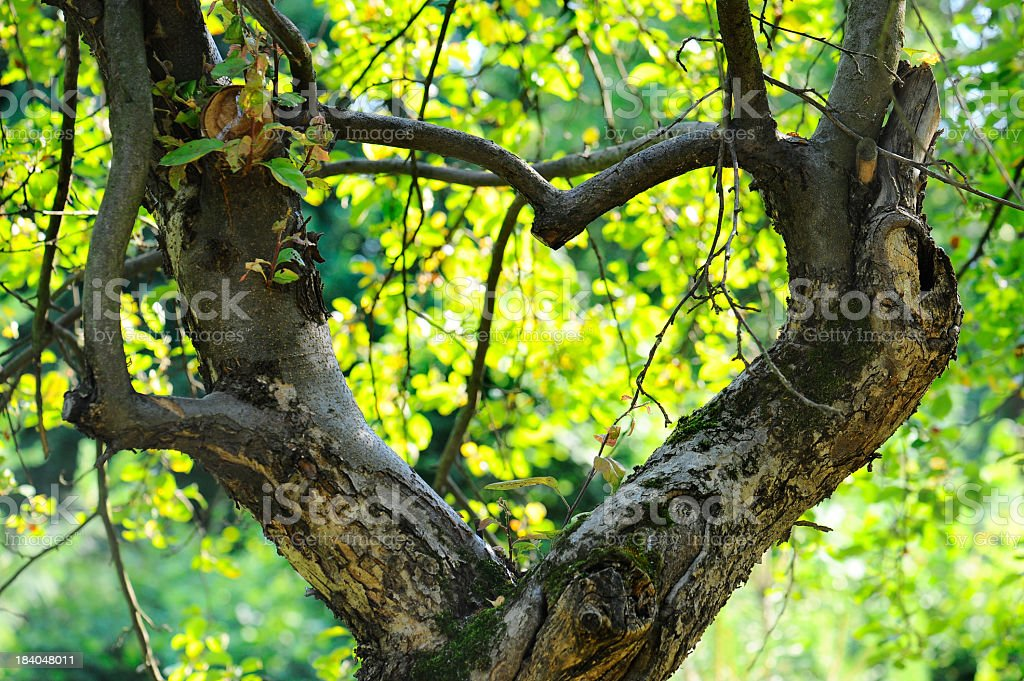 apple tree growing in the shape of heart royalty-free stock photo