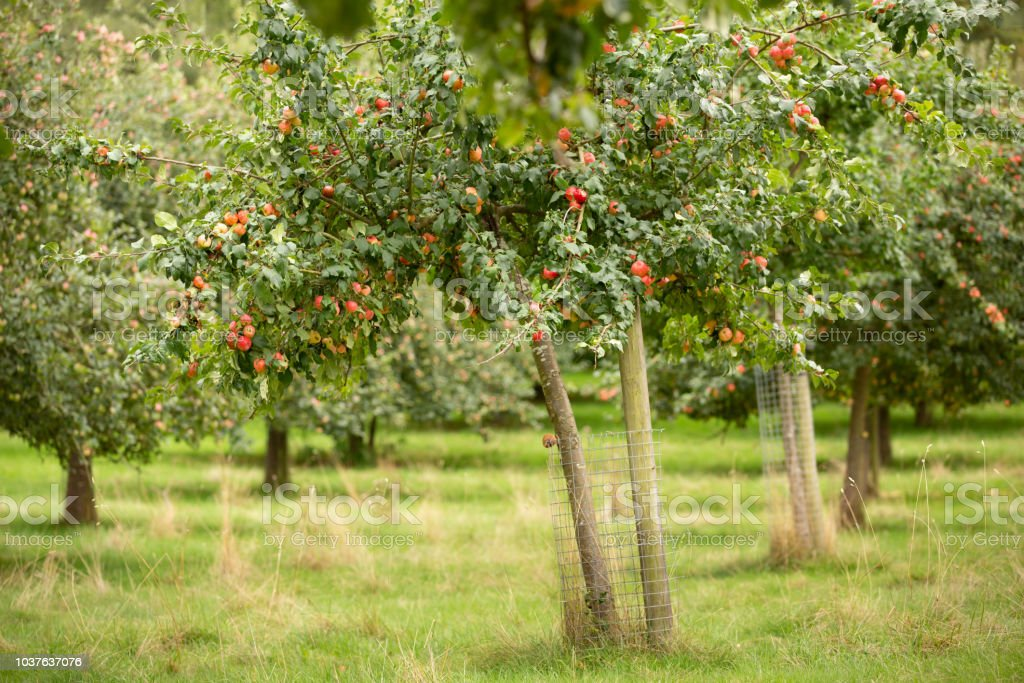 Apple tree in a Herefordshire Orchard stock photo