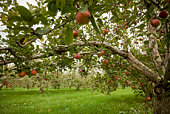 Apple Tree Foliage.Organic Fruits.Taken with L Glass Lens.Natural Colors.